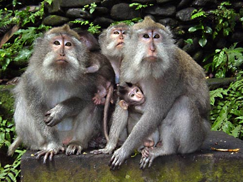 Bali-News-Monkeys